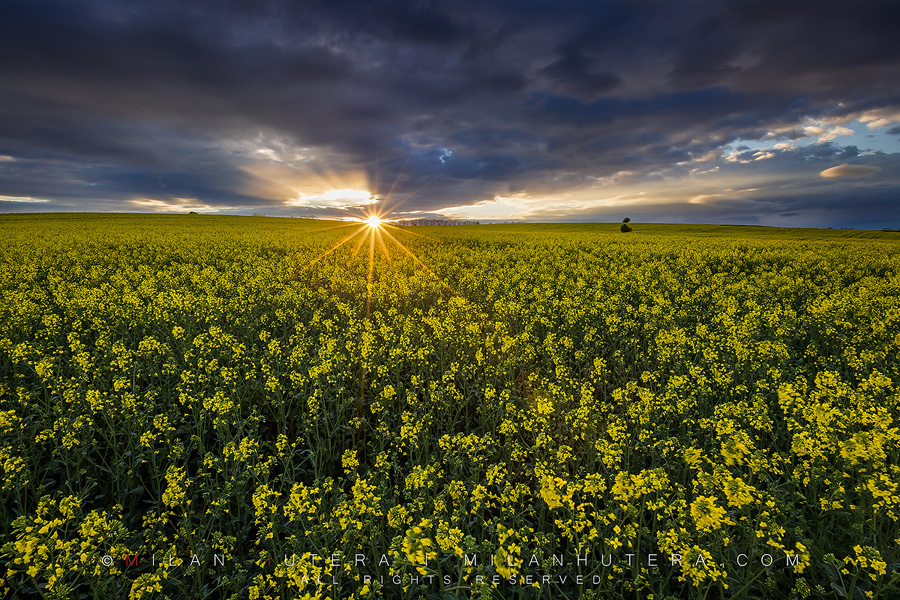 Very last sunrays of the stormy day fall on the rolling hills full of canola.