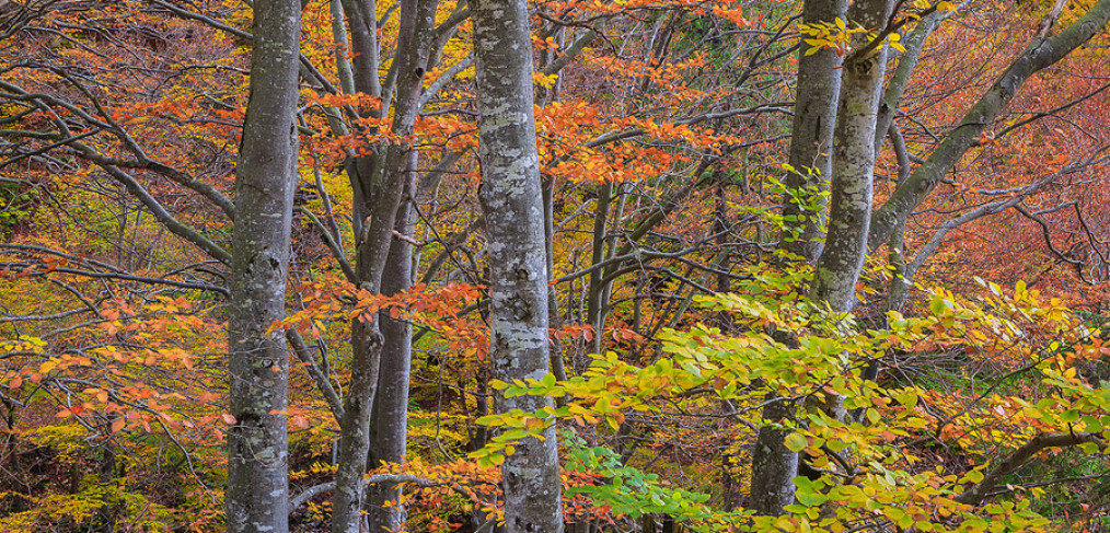A brilliant display of fall colors at the heart of Kvacany valley, Slovakia. Some of the leaves are still green and create a nice color contrast against all the orange leaves around them.