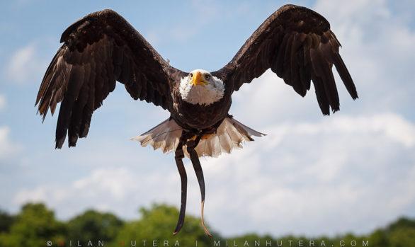 Falconry in Slovakia
